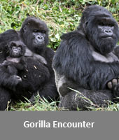 Gorilla Encounter
